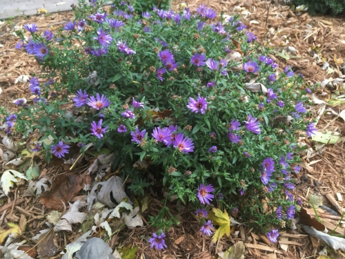 Fall blooming Aster - Asters are stars of the fall show with fresh blooms