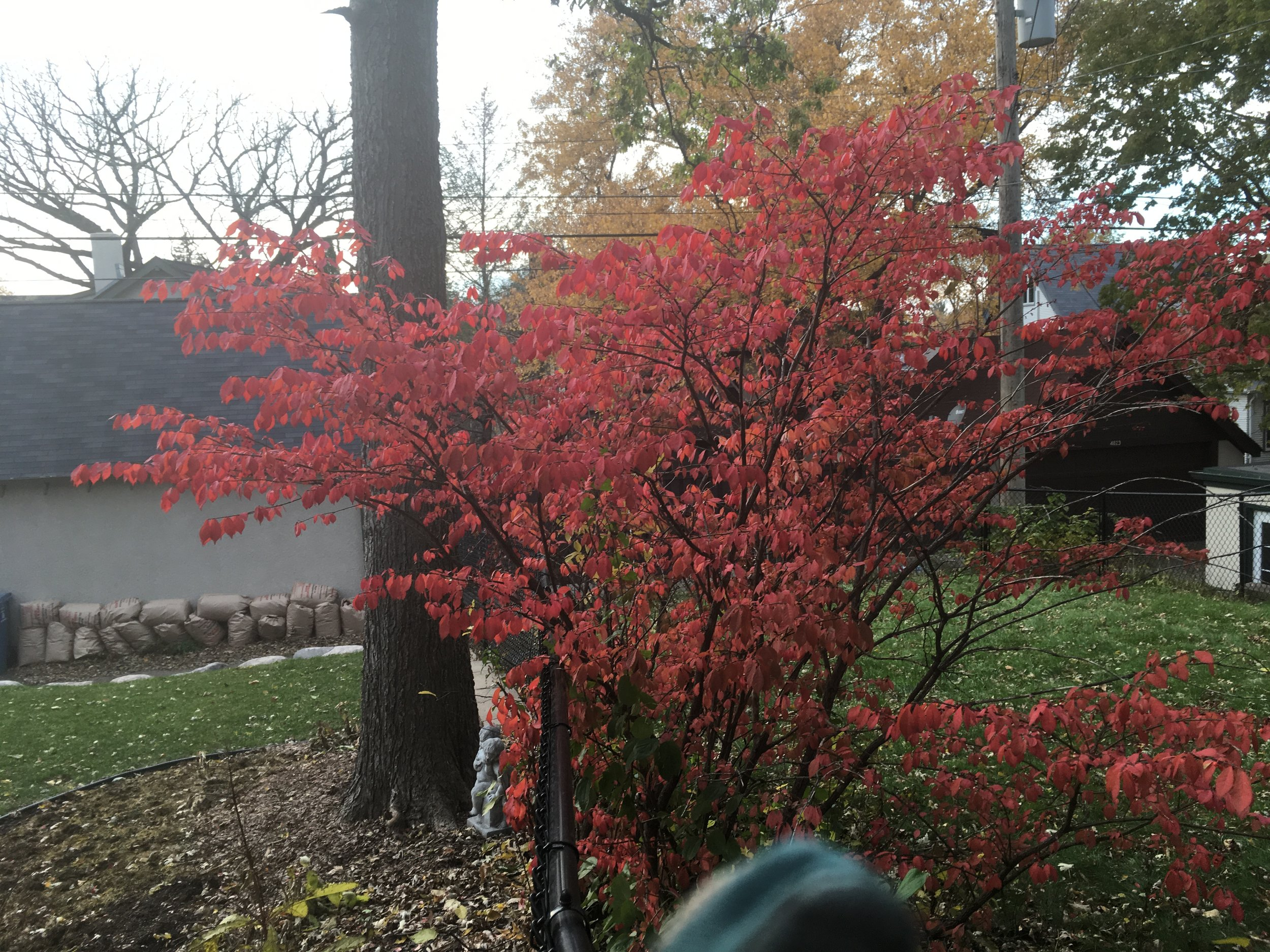 Euonymus Burning Bush - Vibrant punctuation in the Autumn landscape.