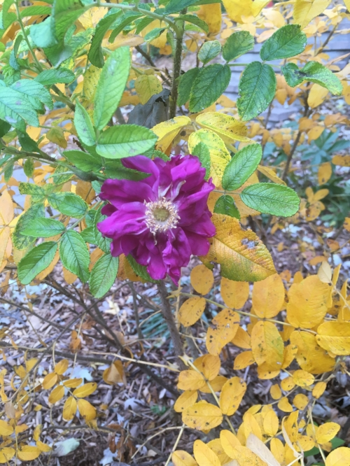 Pavement Rose - A few blooms and green foliage hanging among the golden leaves