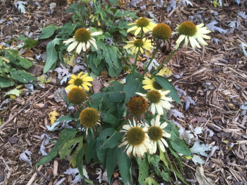 Echinacea Cleopatra - All my coneflowers have died back for the year, but Cleopatra is still the queen