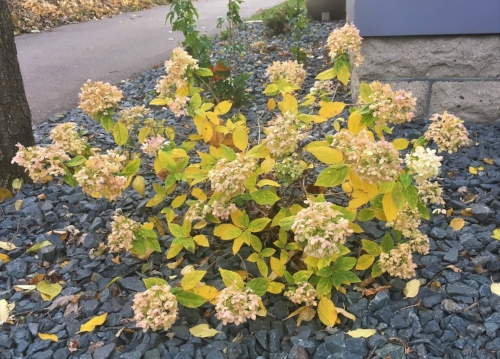 Little Lime Hydrangea - Is now Little Golden with pretty dried blooms