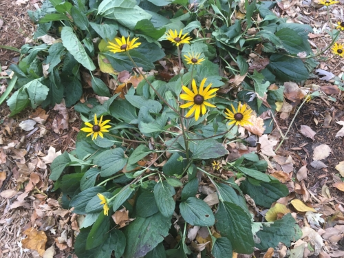 Rudbeckia Goldsturm - Tough as nails in the boulevard garden and holding up to frost too