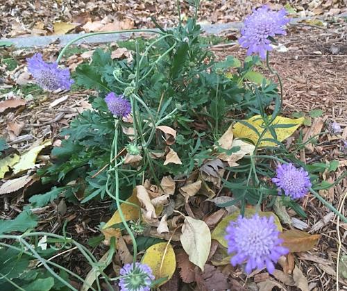 Scabiosa - Still butterfly blue after several frosts