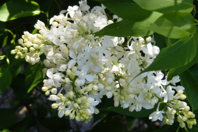 Lilac by Midwest Gardening.jpg