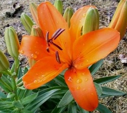 Asiatic Lily by Midwest Gardening.jpg