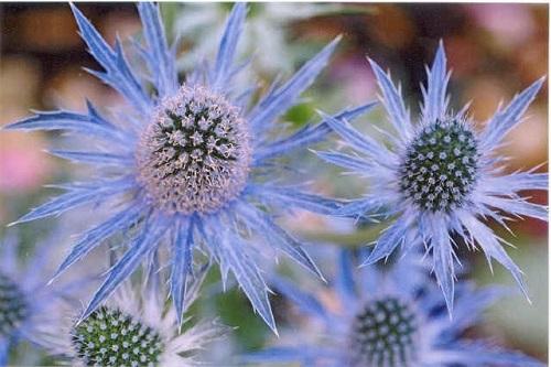 Eryngium 'Blue Glitter'.jpg