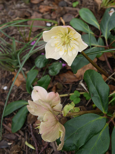 Helleborus niger Harvington double white by mpaola andreoni.jpg