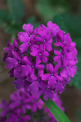 Verbena 'Homestead Purple' by RJ Cox.jpg
