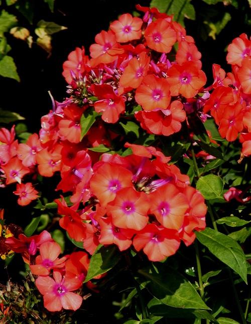 Phlox paniculata 'Starfire' by Midwest Gardening.JPG