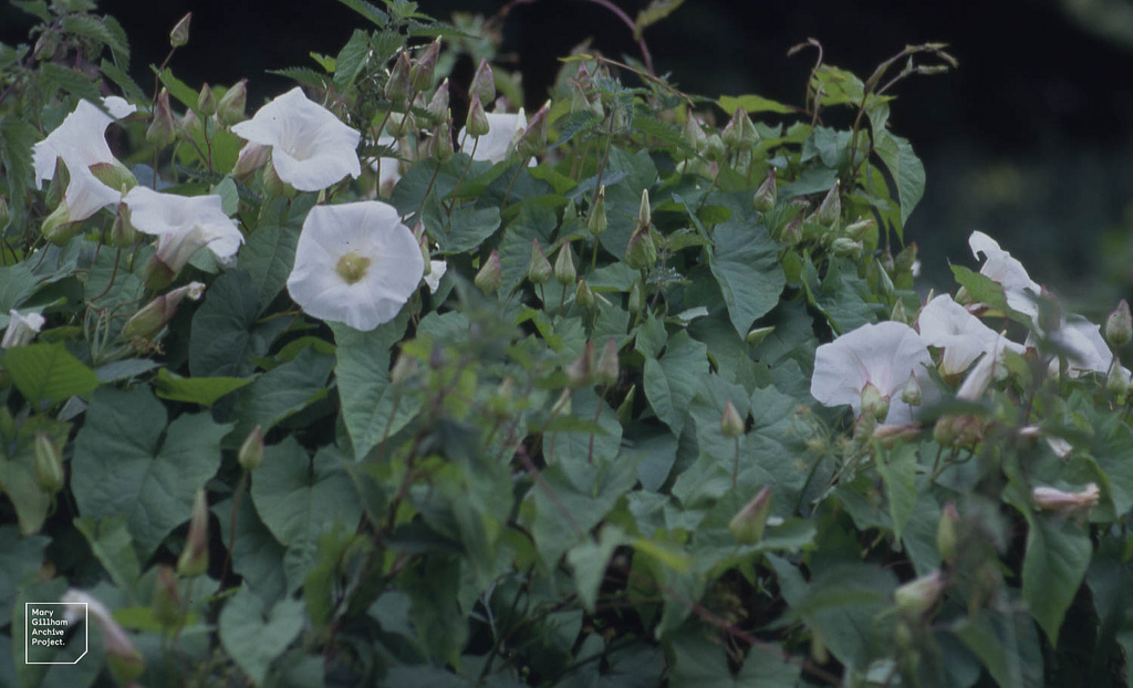 Bindweed - Soil is hard and compacted