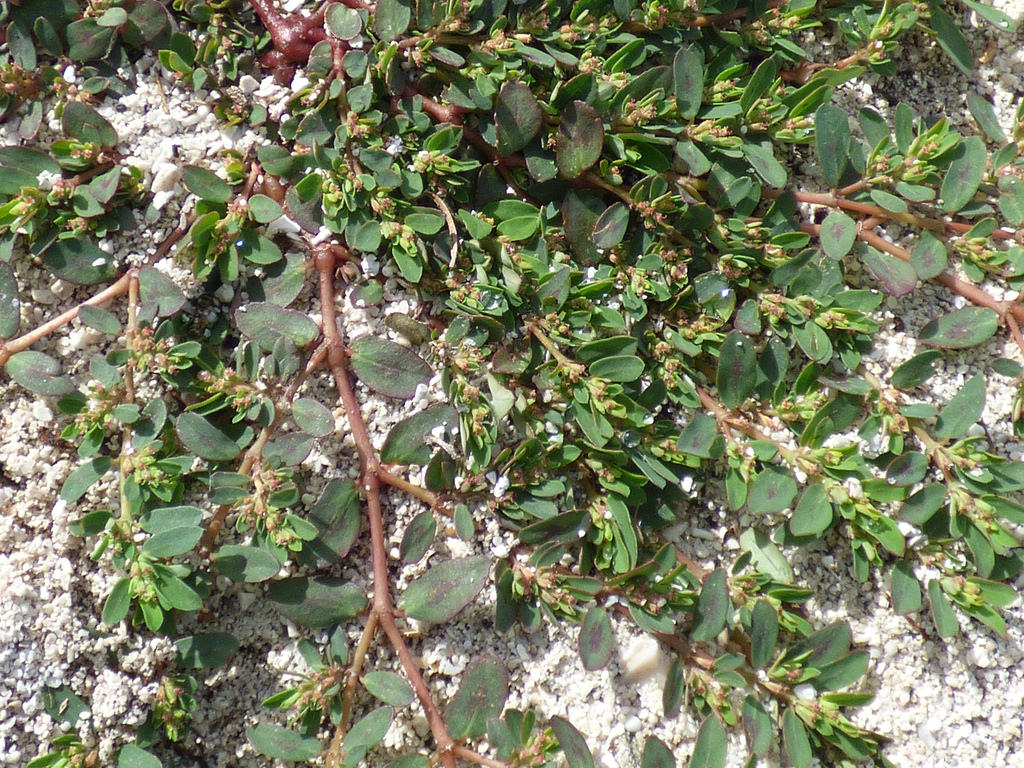 Prostrate Spurge - Soil is compacted