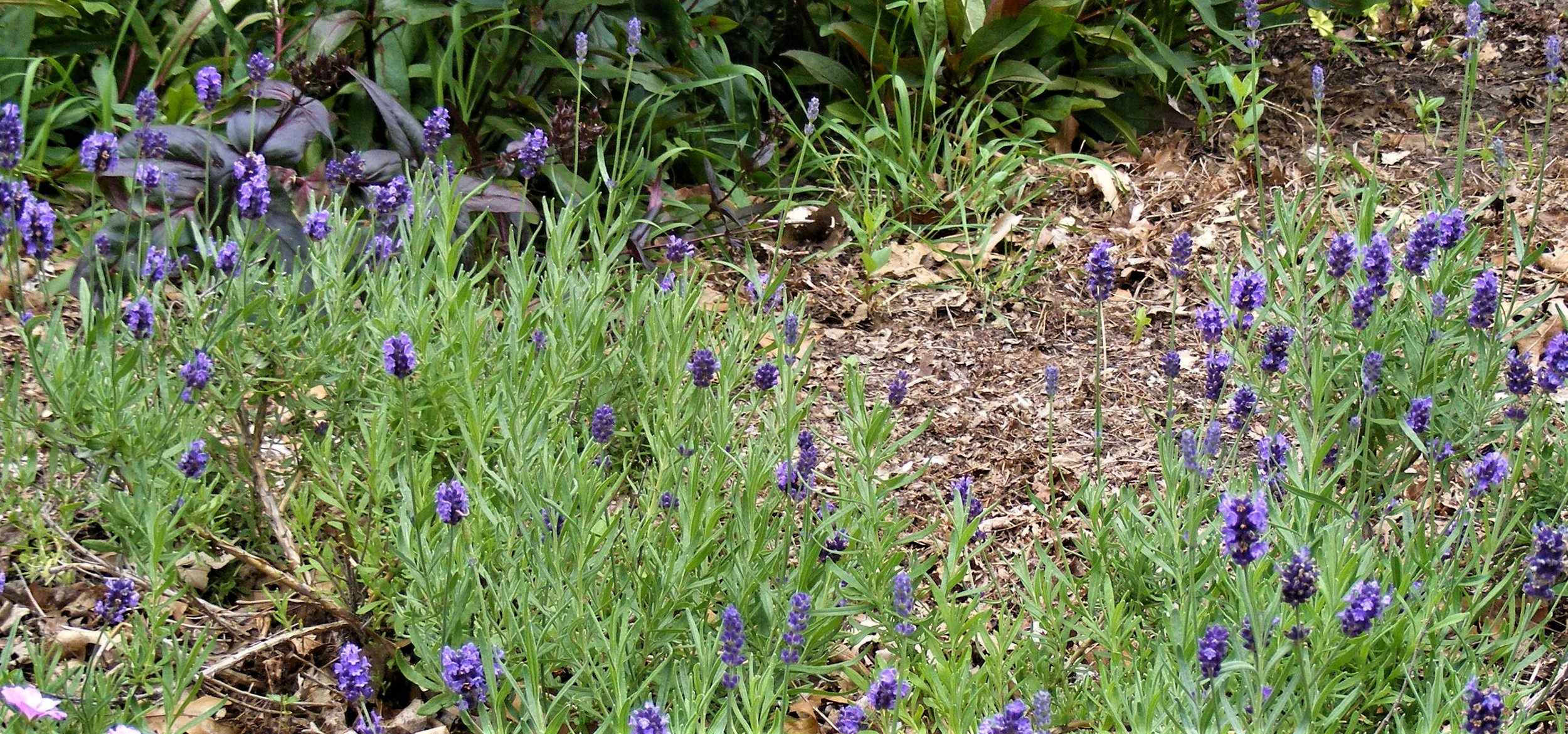 Lavendula Oxford Gem Zone 4 by Midwest Gardening.jpg