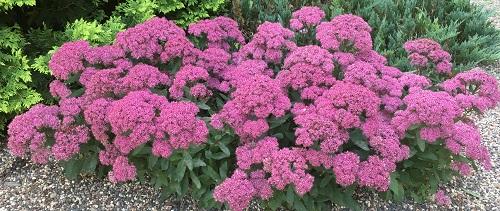 Sedum by Midwest Gardening.jpg