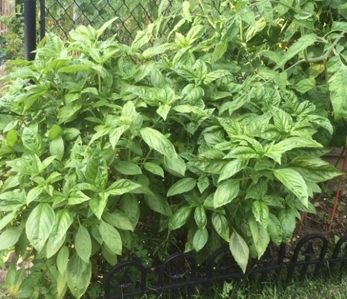 Basil by Midwest Gardening