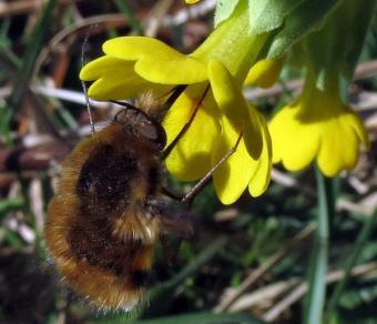 Cowslip - Primula veris