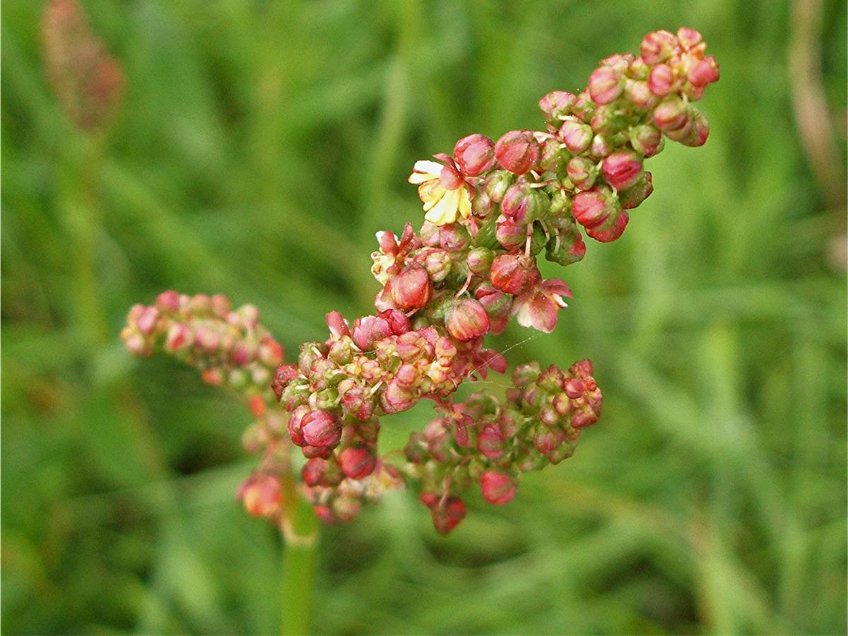 Common Sorrel - Rumex acetosa