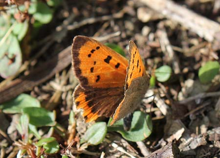 Small Copper laying eggs on Common Sorrel. Image courtesy of Michael Rumble