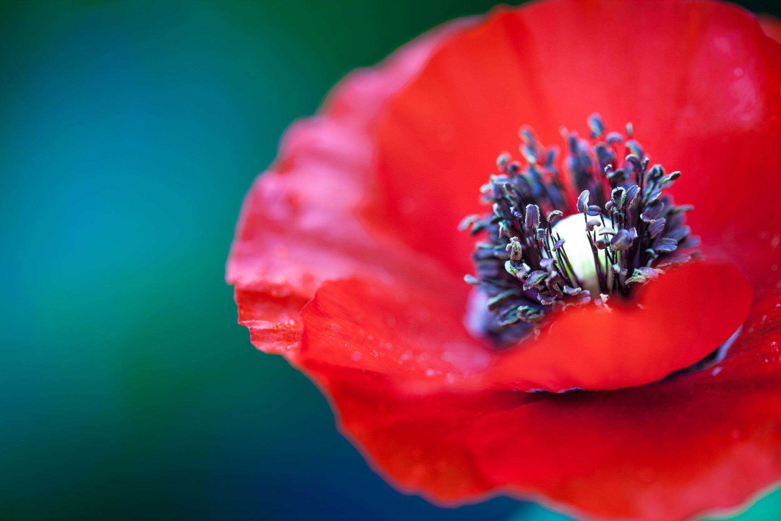 Poppy - Papaver rhoeas