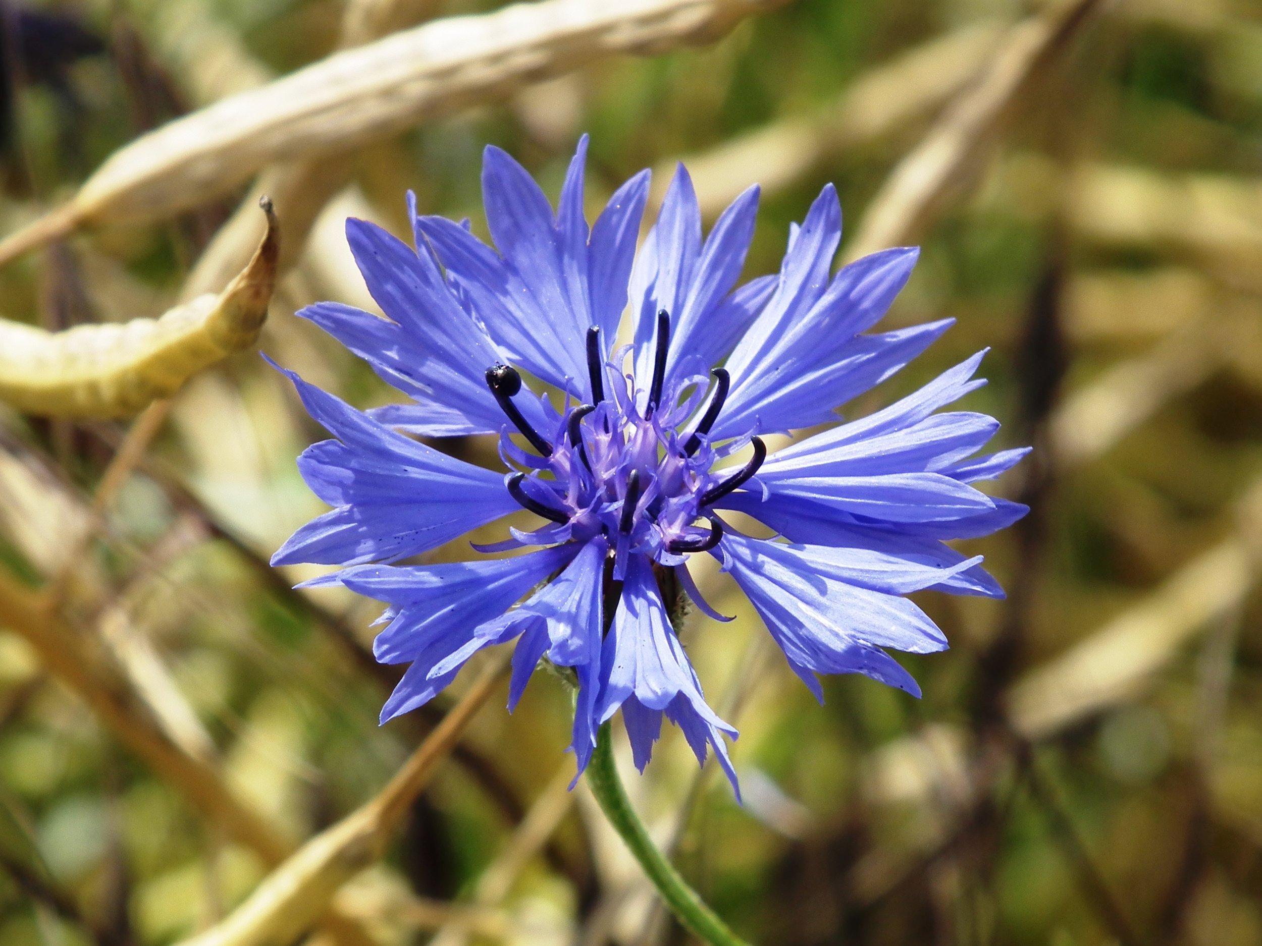 Cornflower - Centaurea cyanus