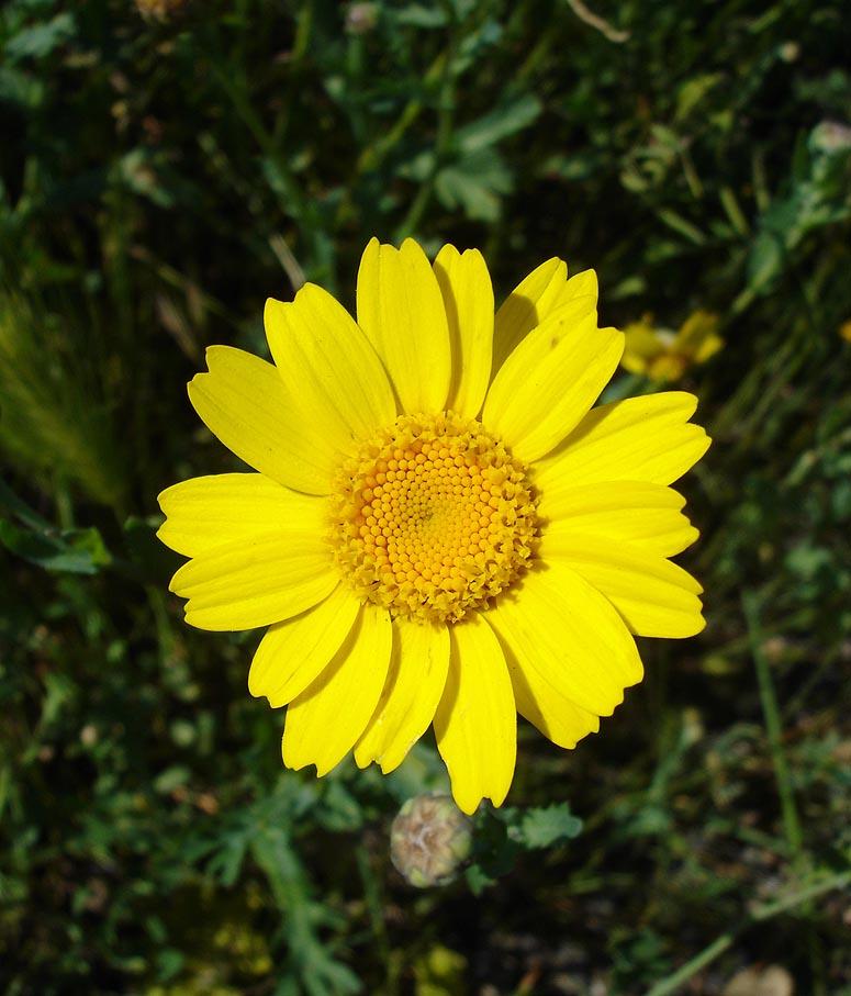 Corn Marigold - Glebionis segetum