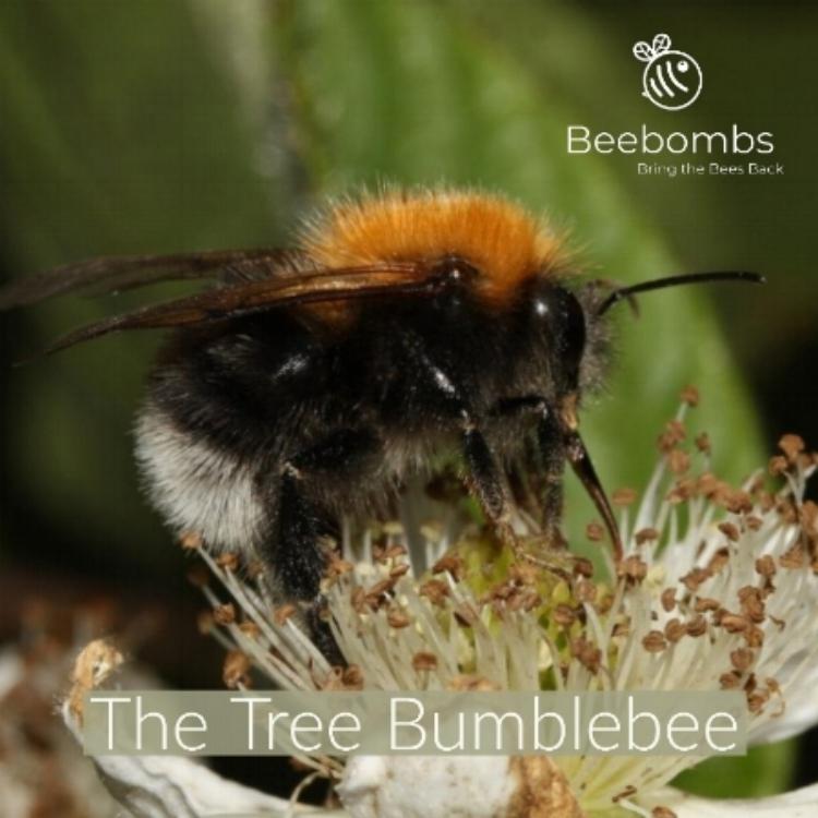 Long Horned Bee (Male) Photo by Kathy Keatley Garvey