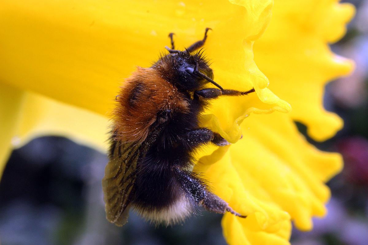 1200px-Tree_bumblebee_(Bombus_hypnorum).jpg
