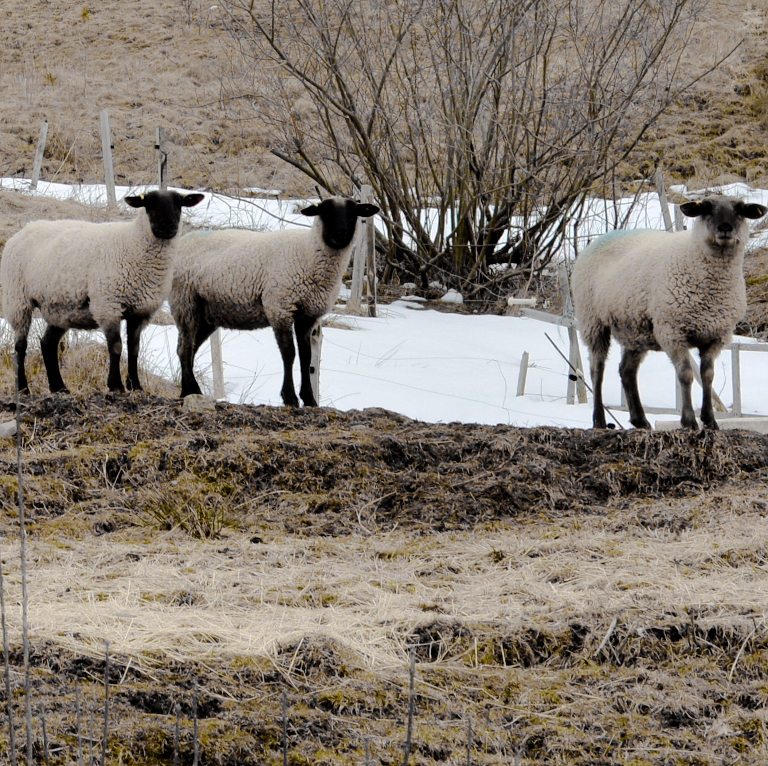 Cape Breton Island sheep.