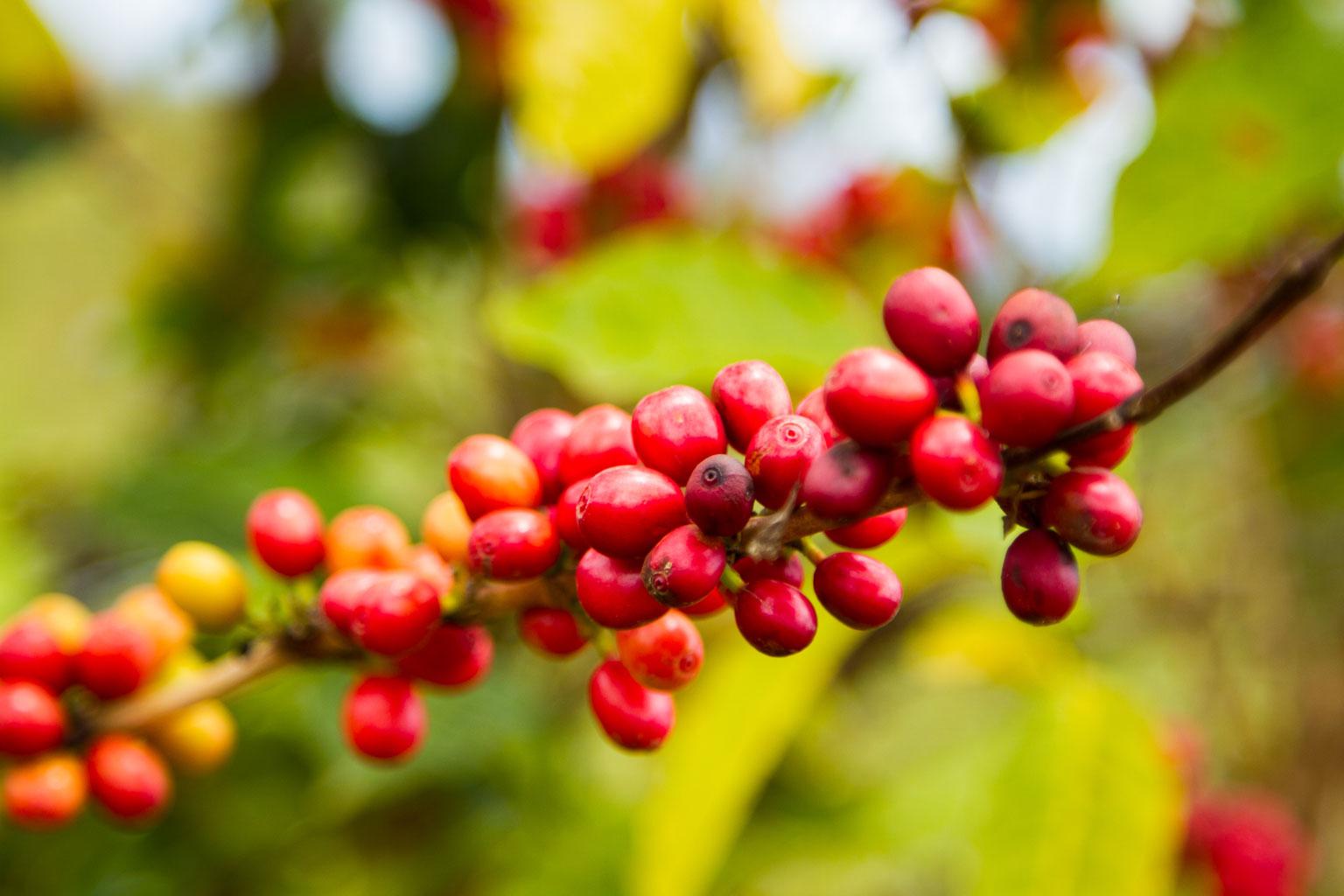 Mer spennende kaffe er på vei fra Brasil