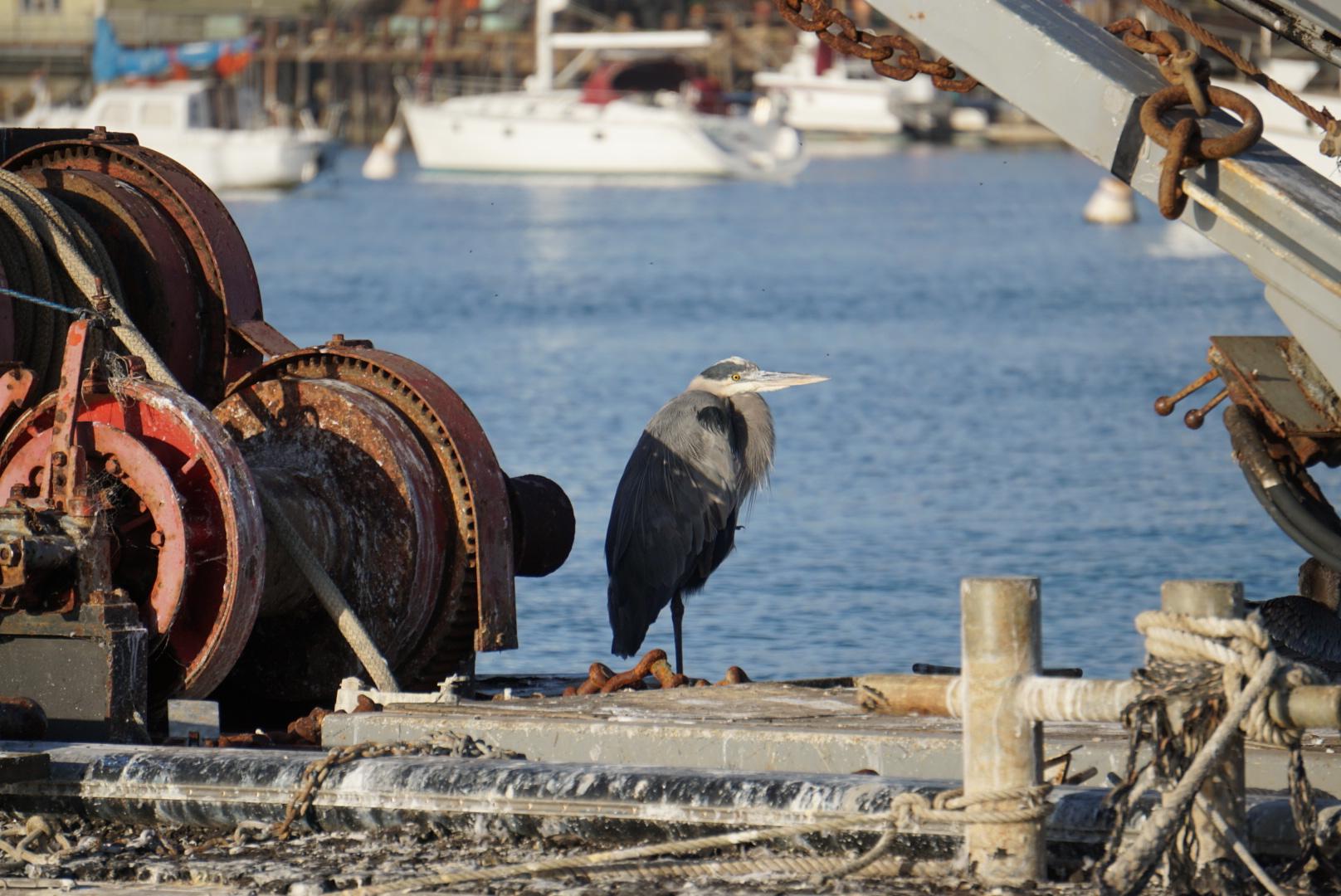 Blue Heron in Morro Bay.