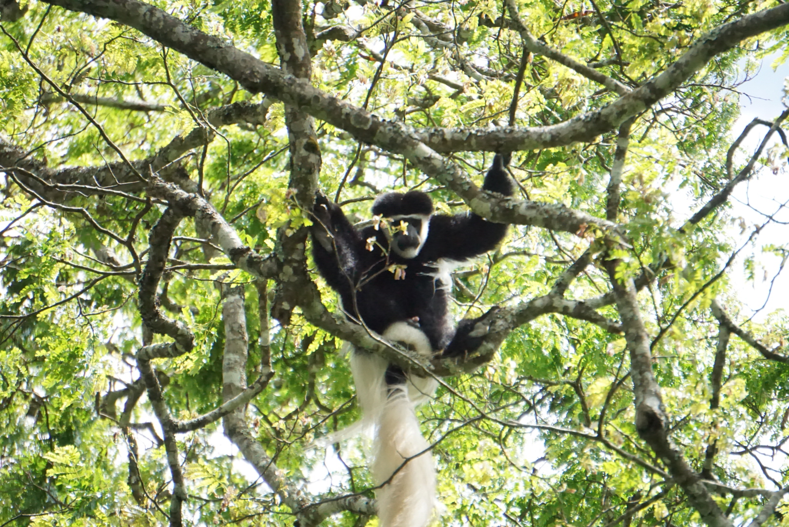 Black-and-white colobus monkeys are native to Africa and are found in Tanzania within the boundaries of Arusha National Park and Kilimanjaro National Park. We spotted them playing in the trees on ur way down the mountain.
