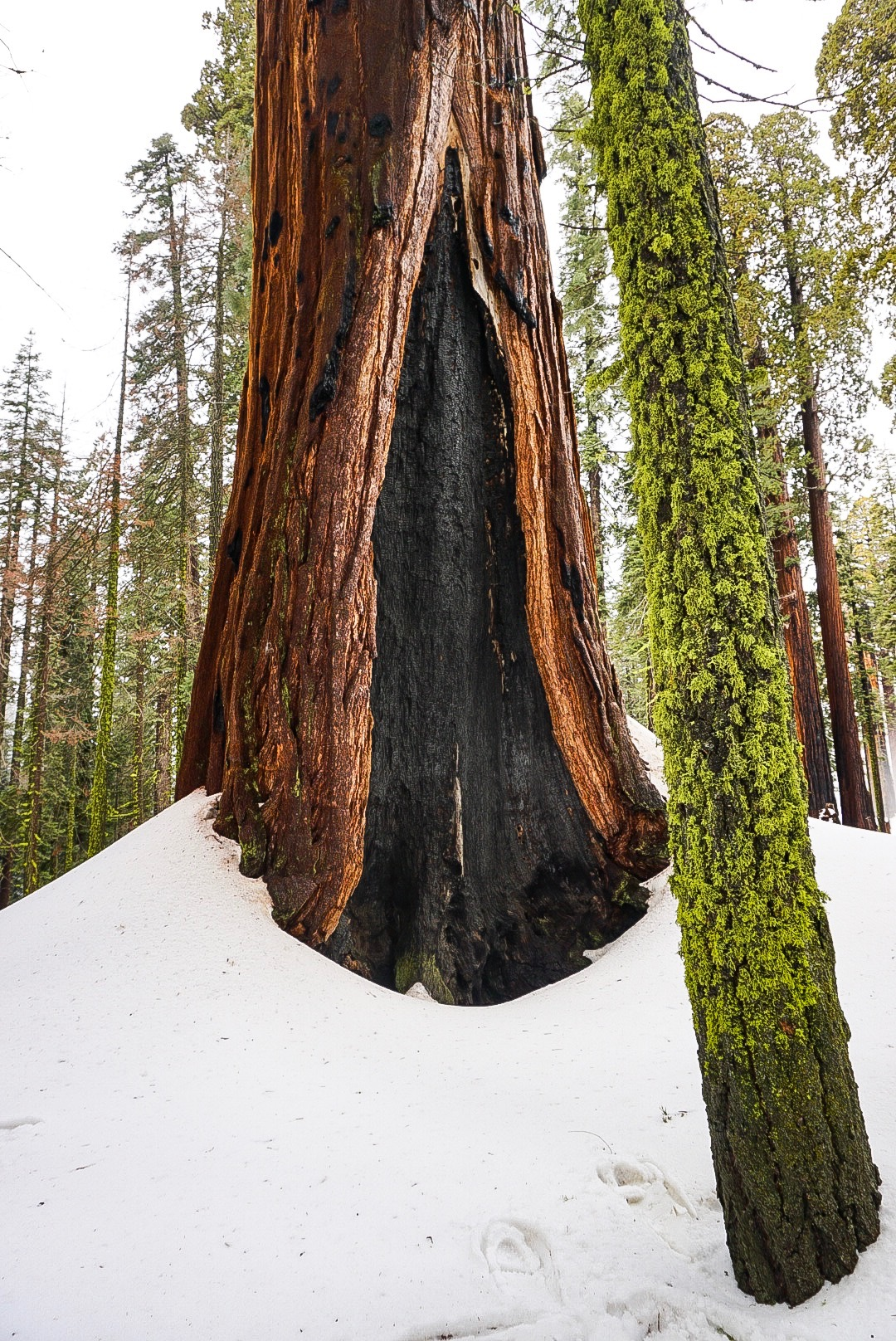 Only in Sequoia can you see trees like this (well probably also up in Humboldt and Redwood National Park)