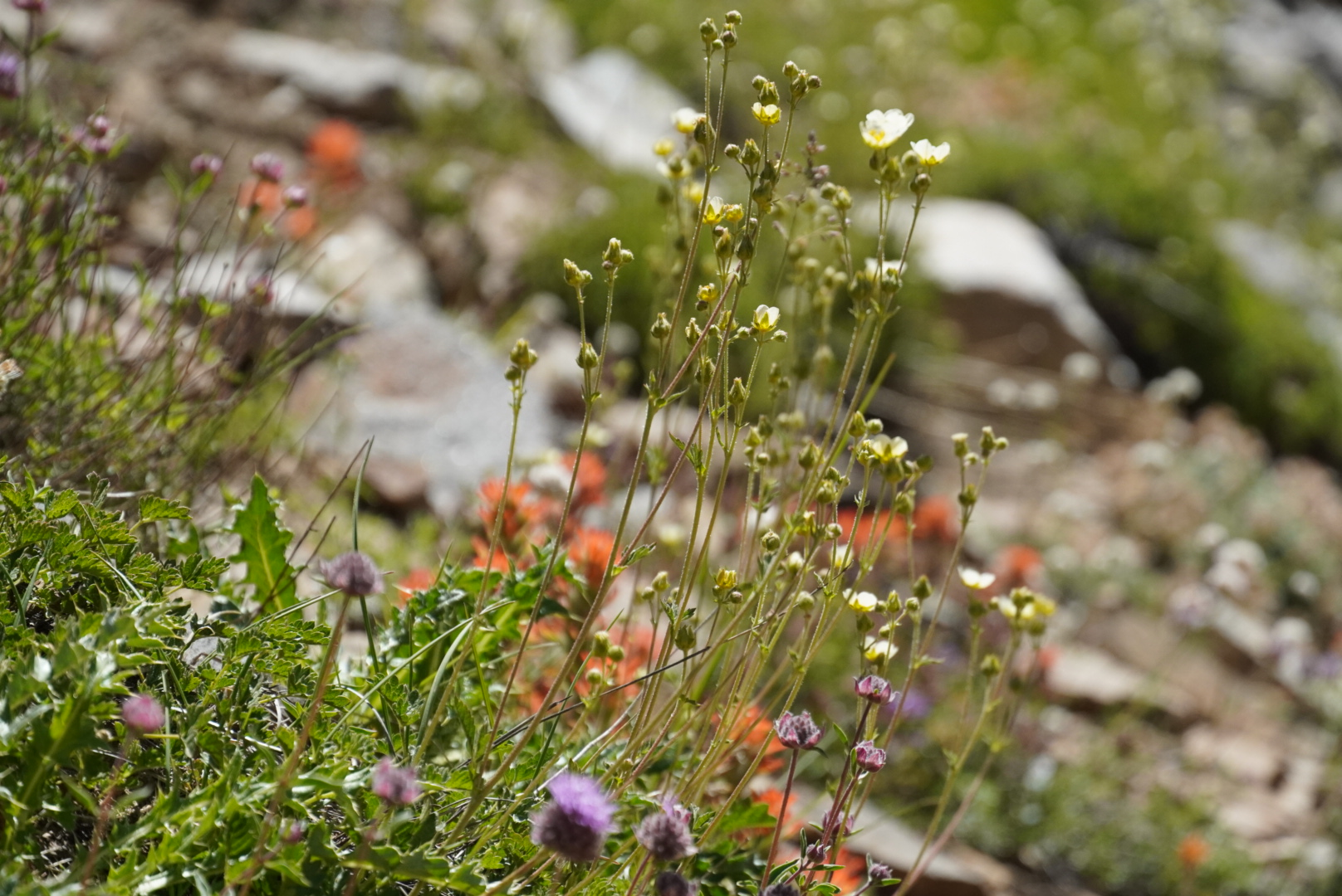 Wildflowers in the Eastern Sierras