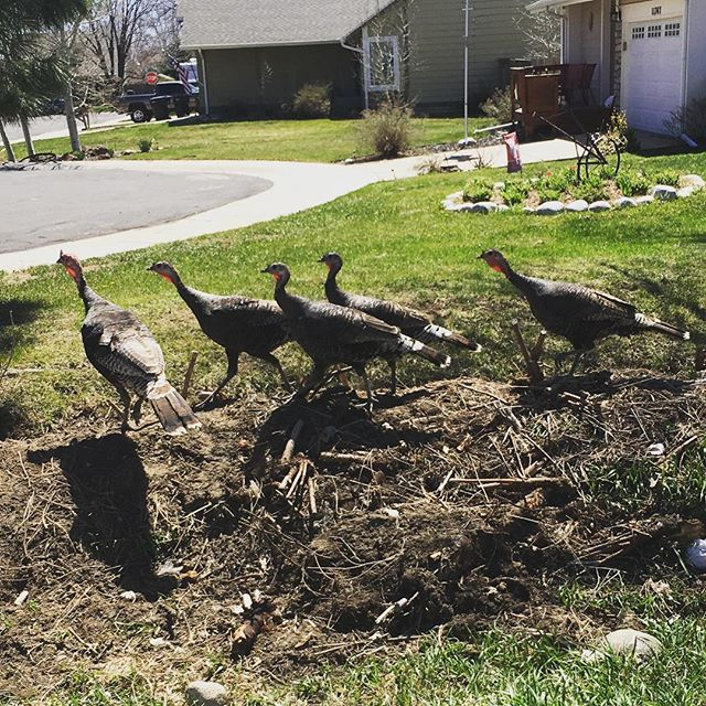 Ran into our neighborhood wild turkey family while walking the dog. #musicianlife #dailywalk #musician #davemyersmusic #dogwalking #colorado #thorntoncolorado #countrymusic