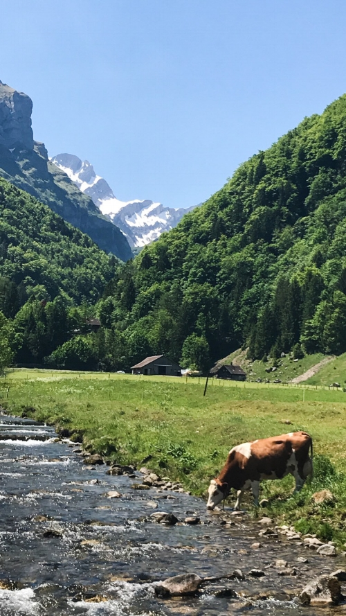 Them happy Swiss cows