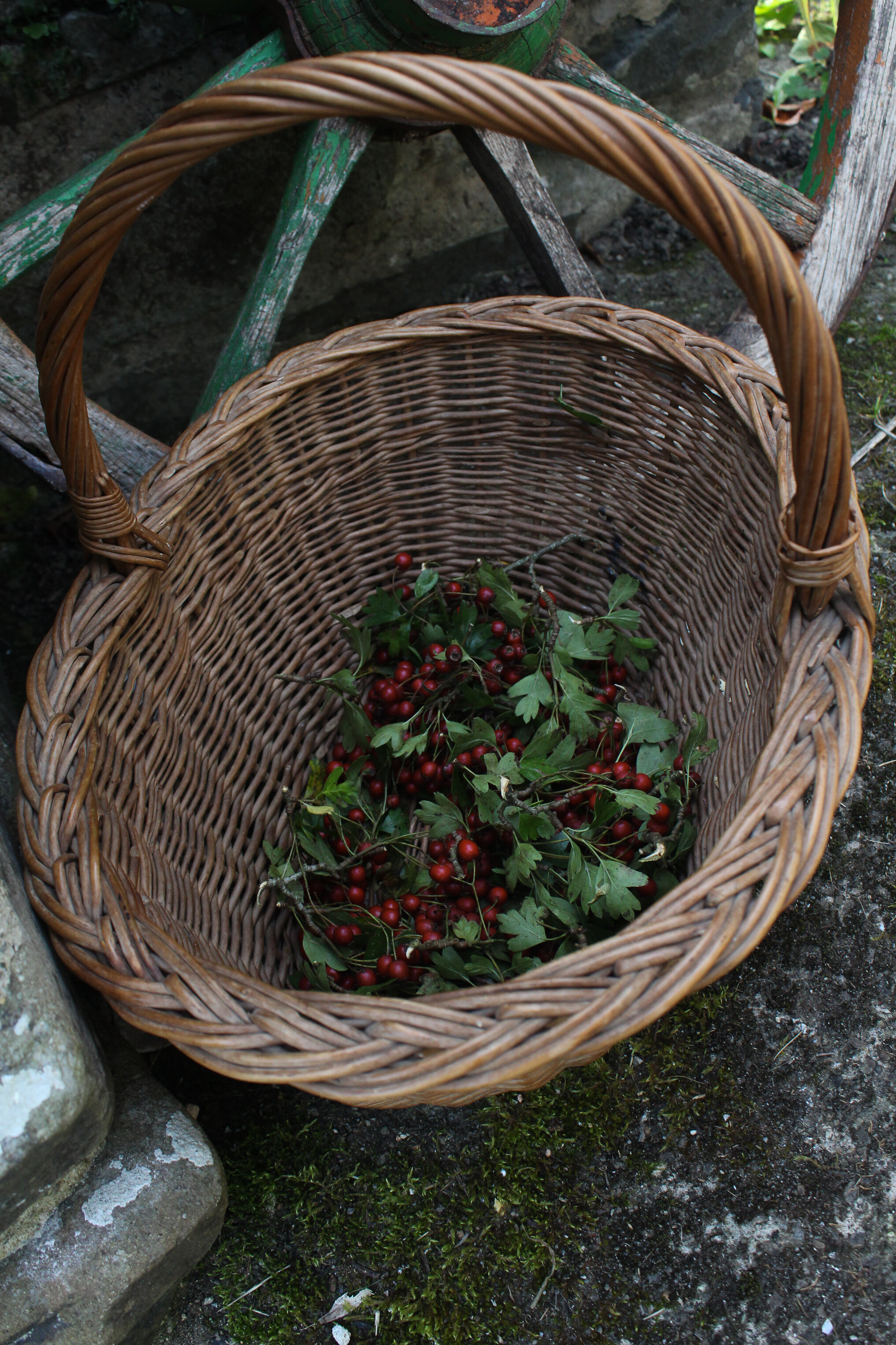 Hawthorn Berry Forage