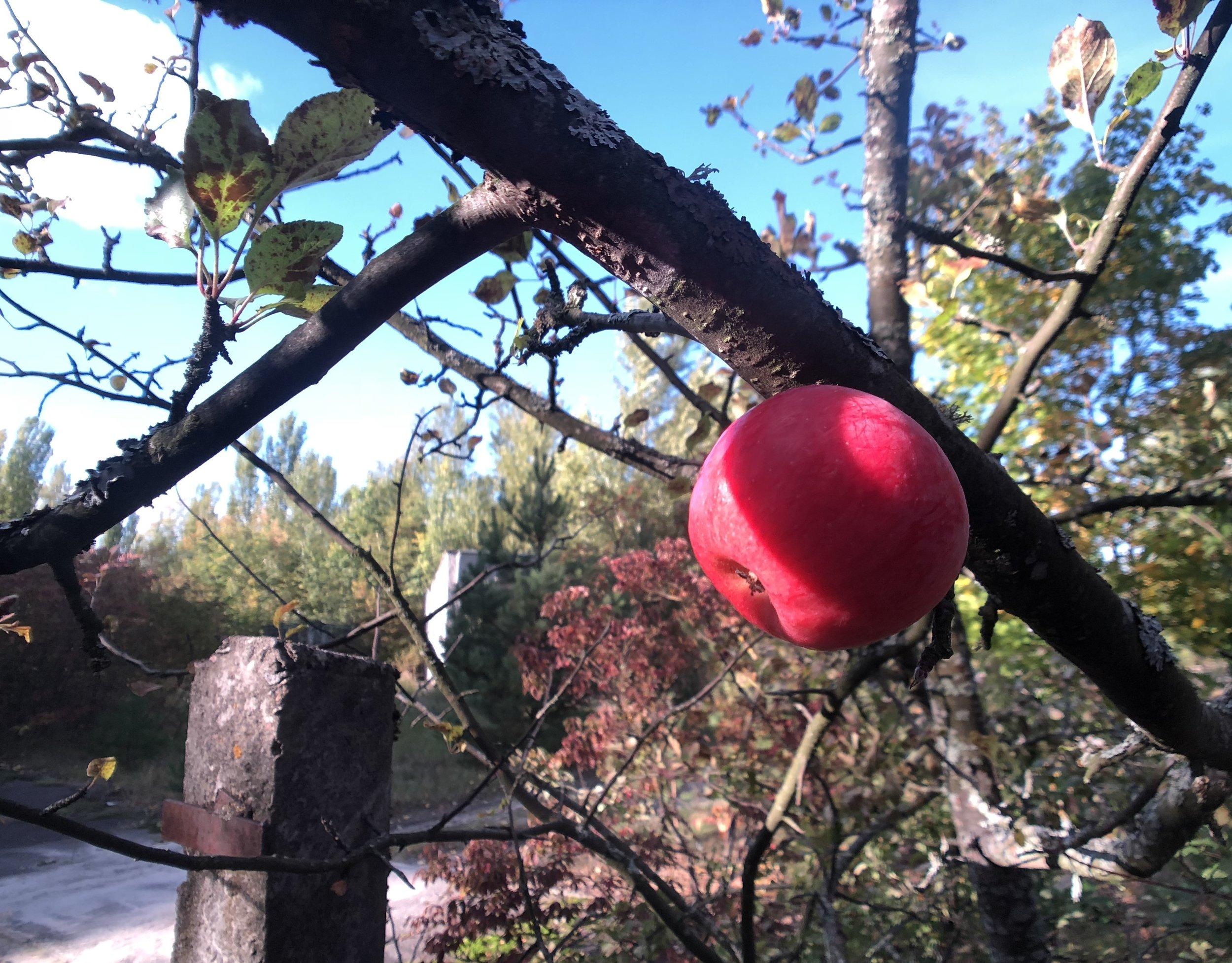 Măr în Pripyat. Nu e bine să-l mânănci. E safe să te plimbi, dar rădăcinile copacilor tind să tragă radiația din sol