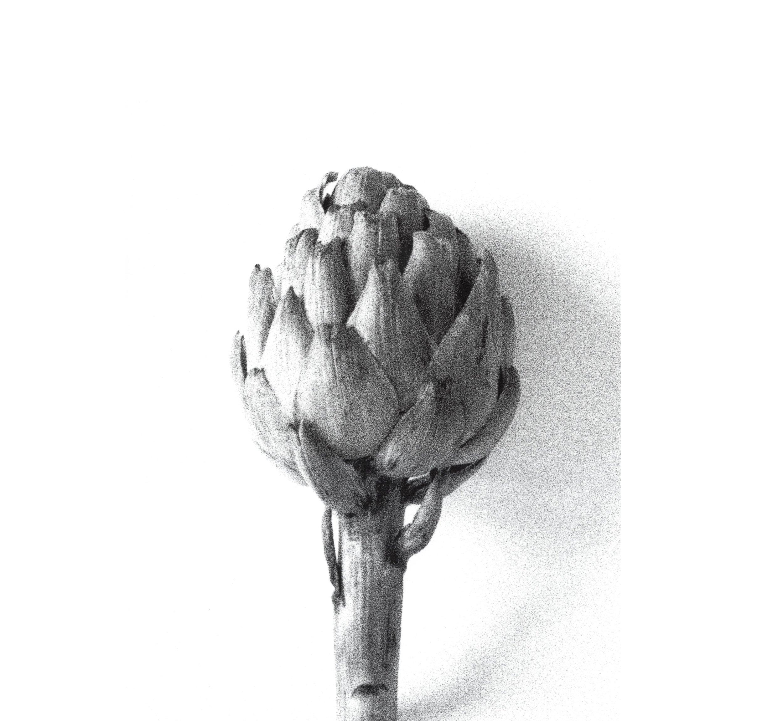 Shadow Life Series Late Morning Cynara cardunculus Var scolumus 1:1 carbon and watercolour on paper 2009
