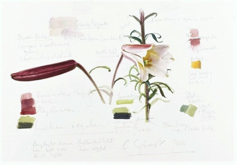 Lilium regale  detail of bud and bloom Colour Study Watercolour on paper 2000 Image courtesy of the The Royal Horticultural Society Lindley Library