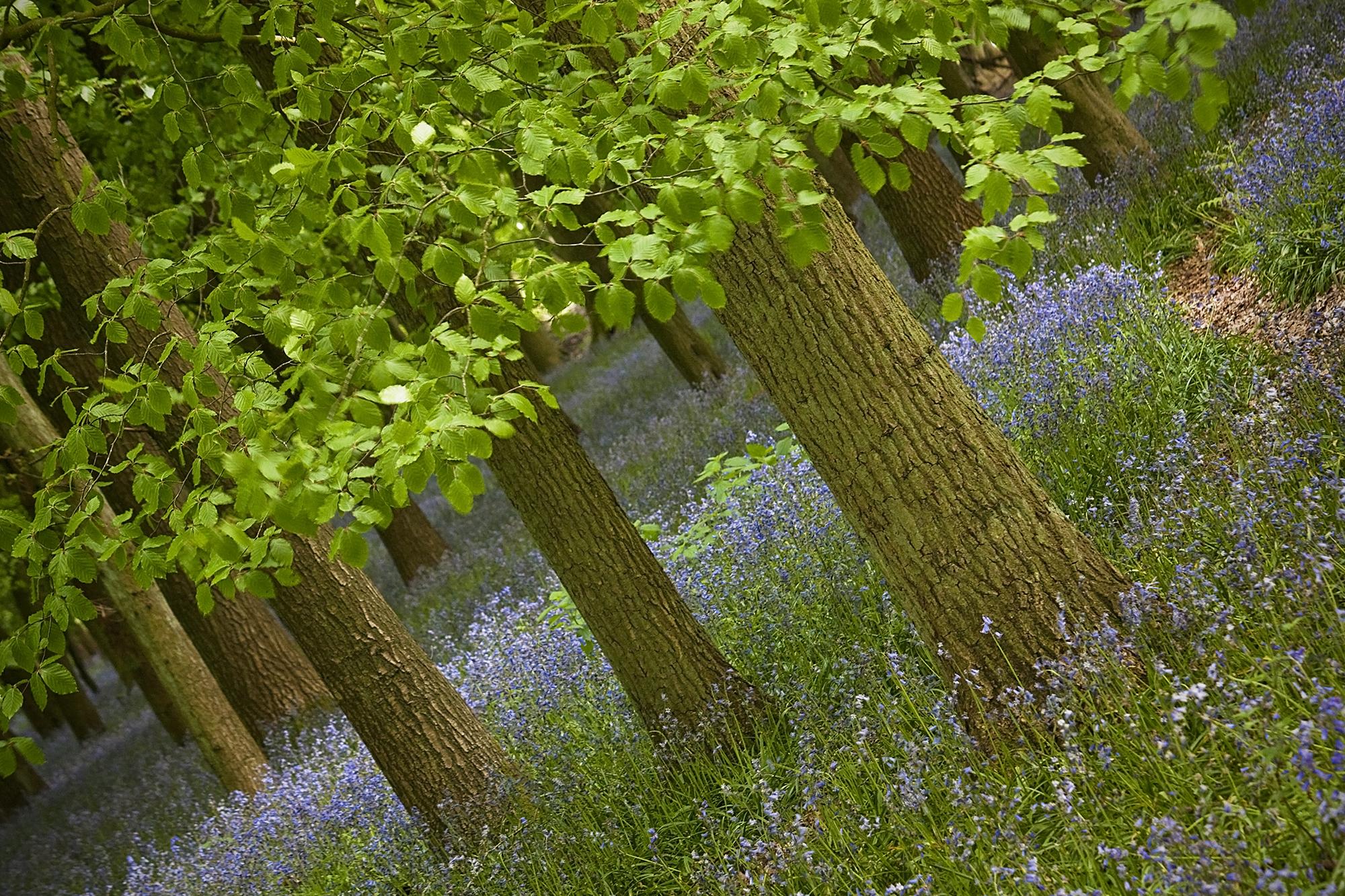 Bluebell woods 2016_41.jpg