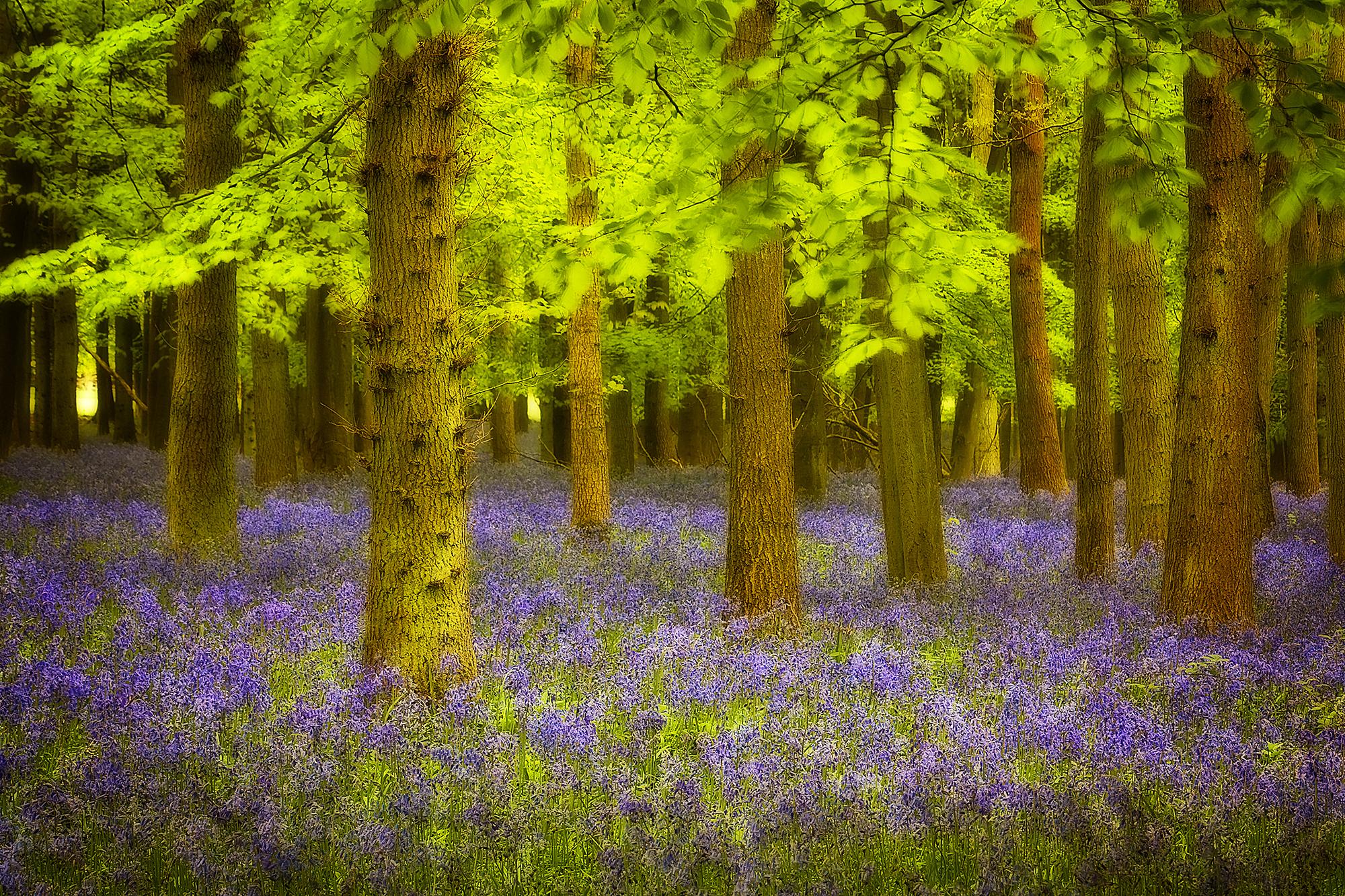 bluebell woods_61.jpg
