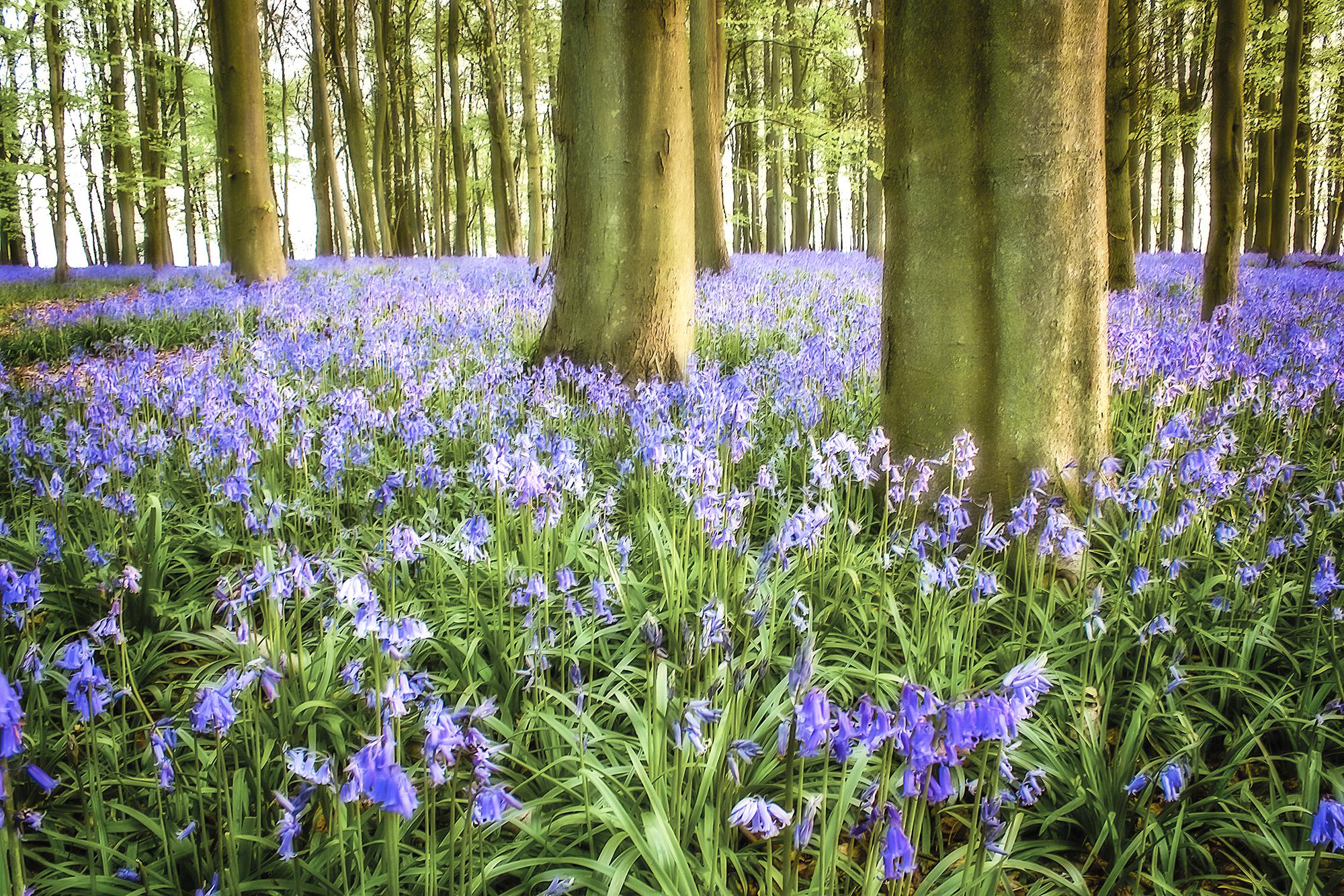bluebell woods_56b.jpg