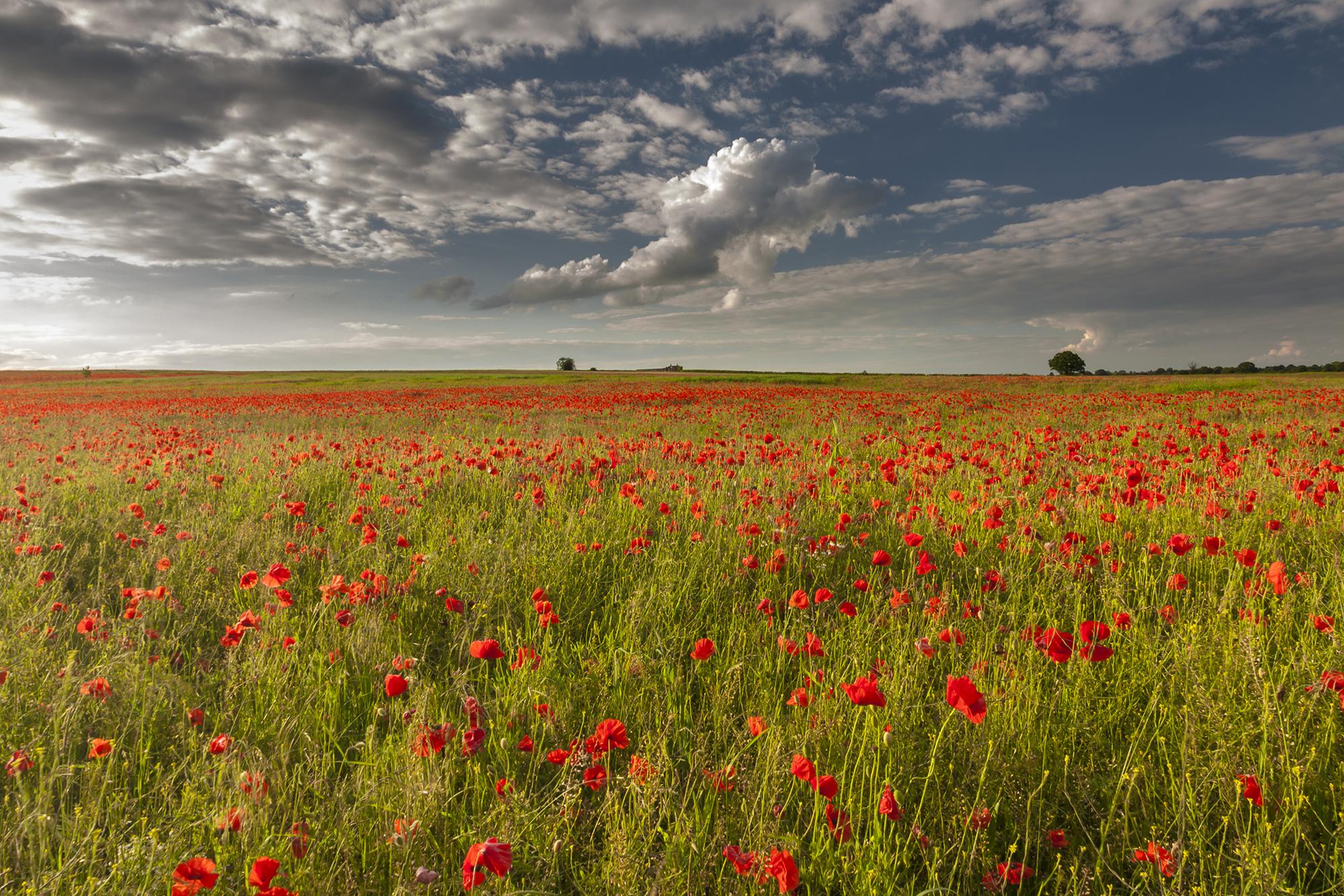poppy field_8.jpg