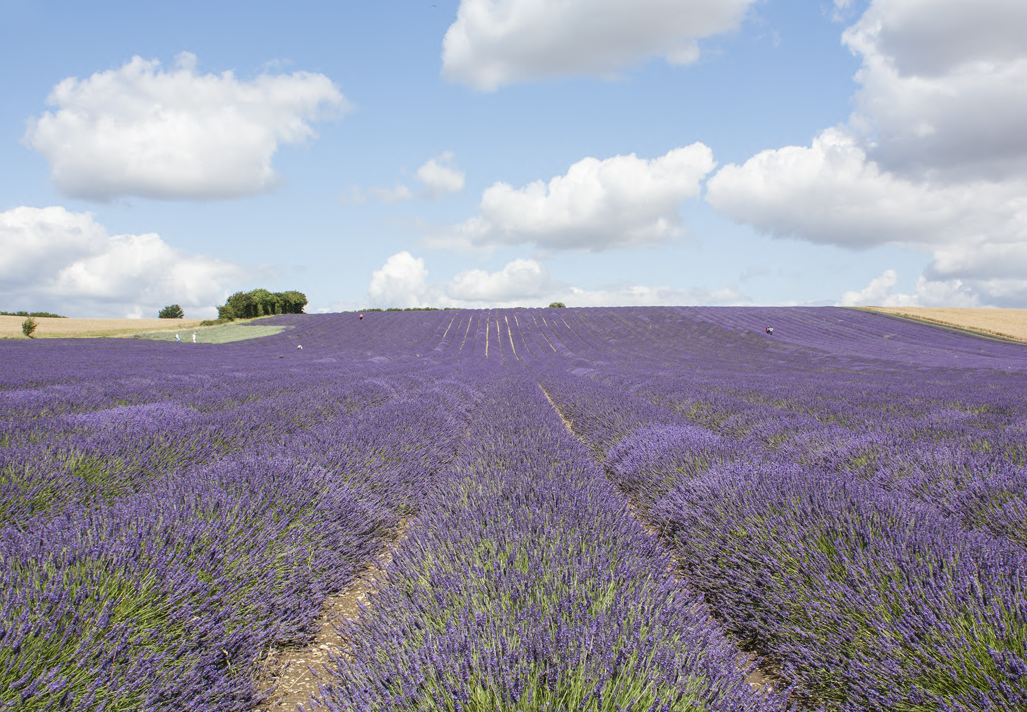 lavender_4.jpg