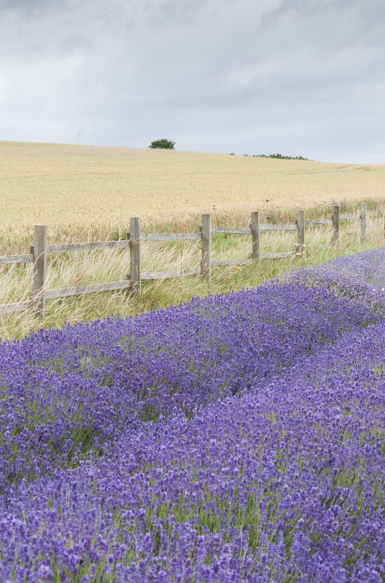 lavender_8.jpg