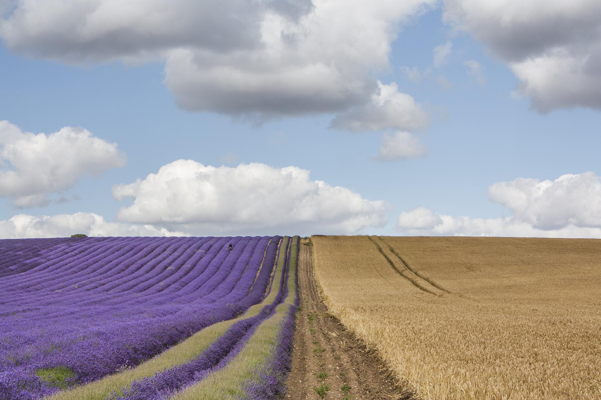 lavender_9.jpg