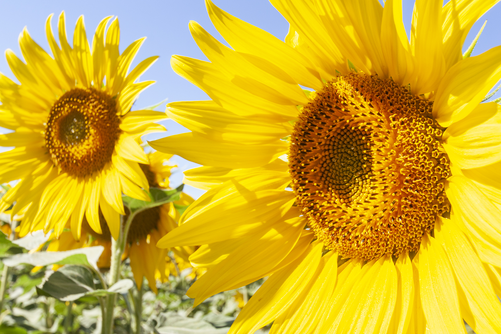 sunflowers_7.jpg