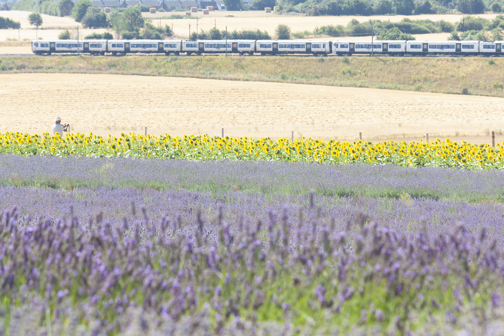 sunflower train.jpg