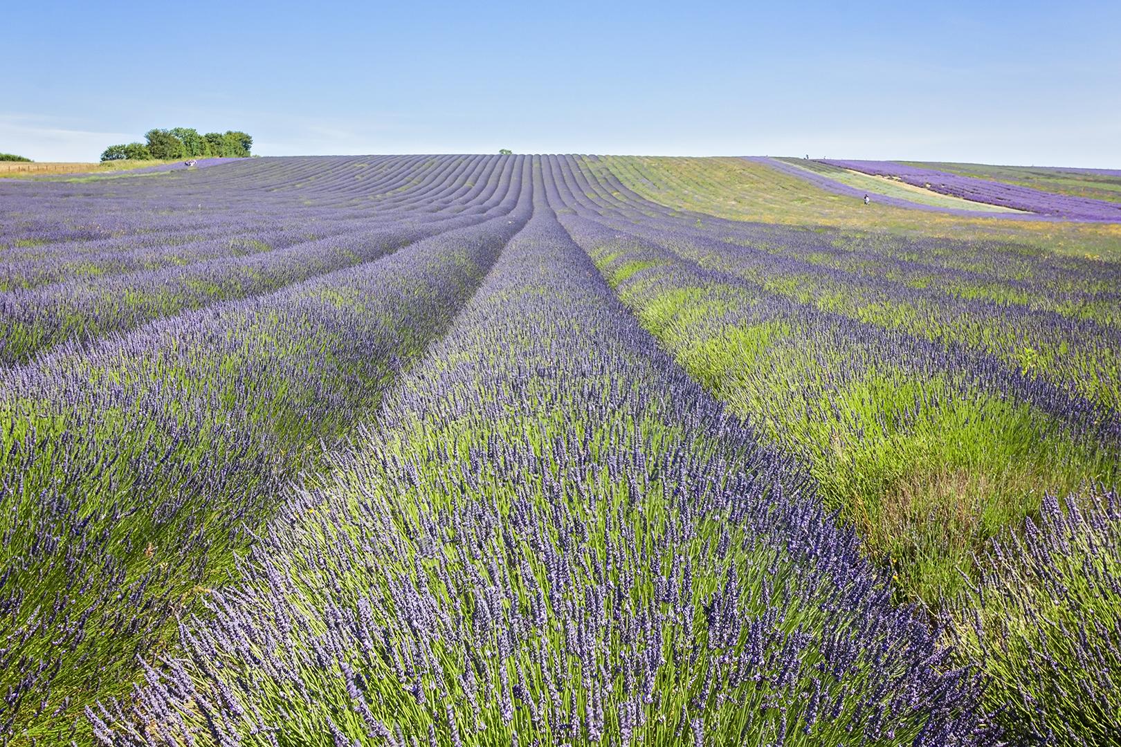 lavender_2018_1.jpg