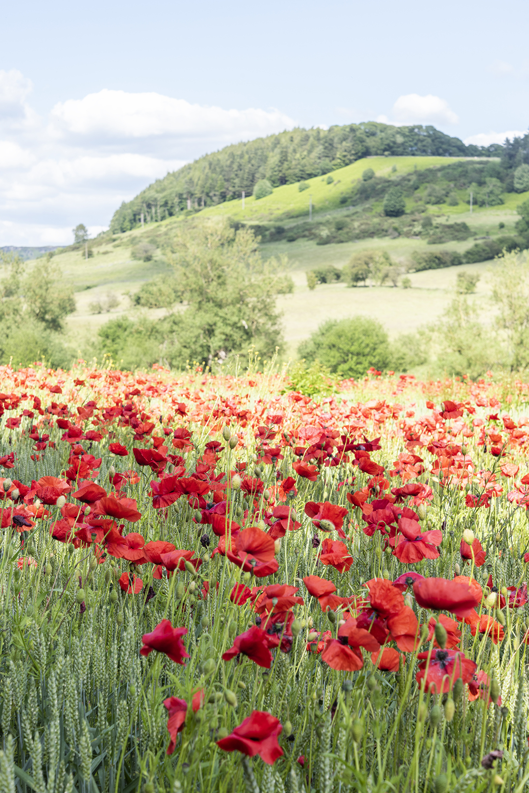 peak district poppies.jpg