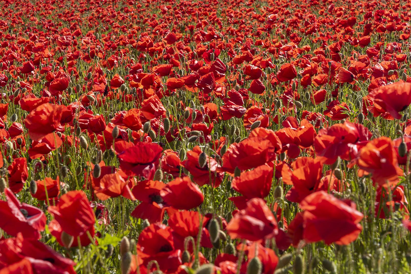 peak district poppies_5.jpg